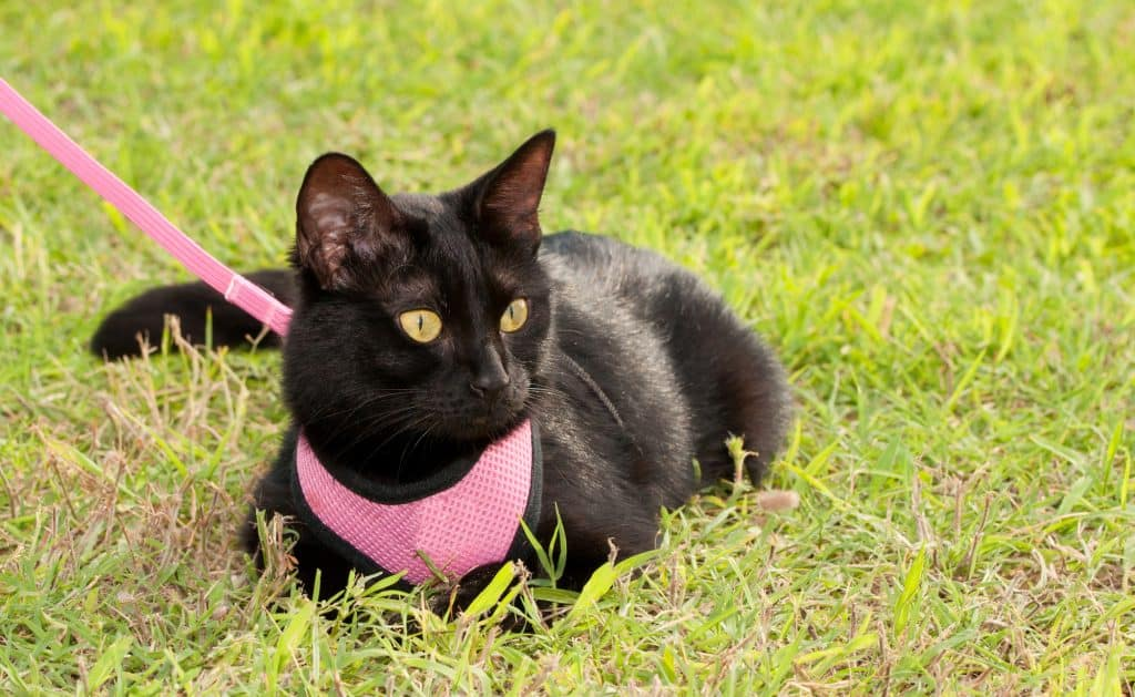A black cat with yellow eyes lying on green grass. The cat is wearing a pink harness, with someone holding the leash off camera.