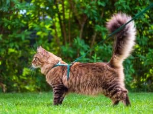 Maine Coon Cat standing up on grass wearing a harness