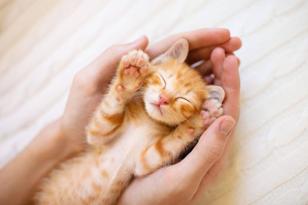 Sleeping Yellow/Orange Kitten in Someone's Hands