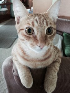 Yellow, brown, and white cat with yellowish eyes sitting on a chair looking at the camera