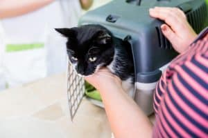 Black and white cat sticking its head out of a dark greenish-bluish and light tan cat carrier. A woman is touching the cat with her left hand on the cat's neck