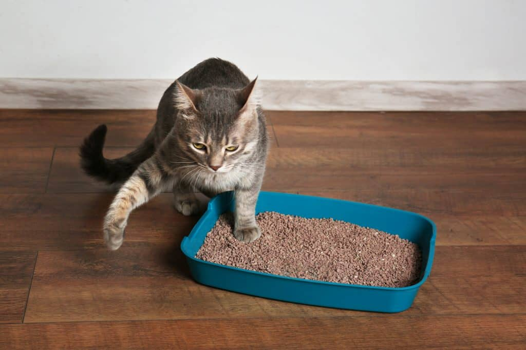 A grey and black cat stepping out of a blue litter box filled with brown litter