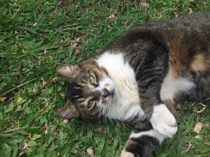 Black, grey, brown, and white cat with green eyes lying on its back on the grass