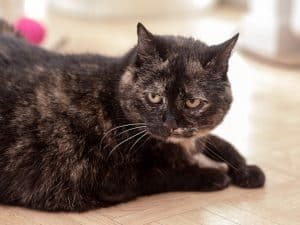 Older black cat with white patches lying down on the floor looking off to the side