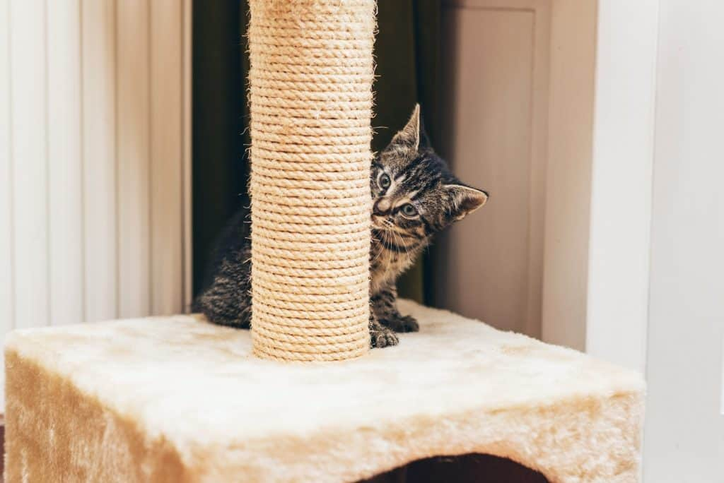 A small grey kitten with black strips sniffing at a white scratching posts, seeming to investigate what it is