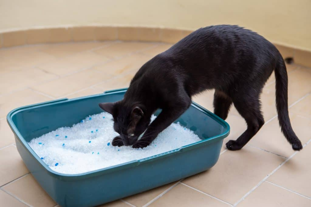 A black cat with its two front paws in a turquoise litter box with white litter.