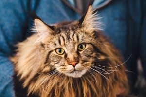 A big, brownish, grey-ish fur with black striped Maine Coon cat looking at the camera straight on