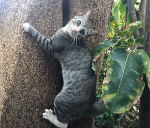 A grey cat with black strips and white paws hanging on a tree
