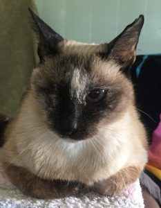 Tan Siamese cat with a black nose and years missing it's right eye lying down