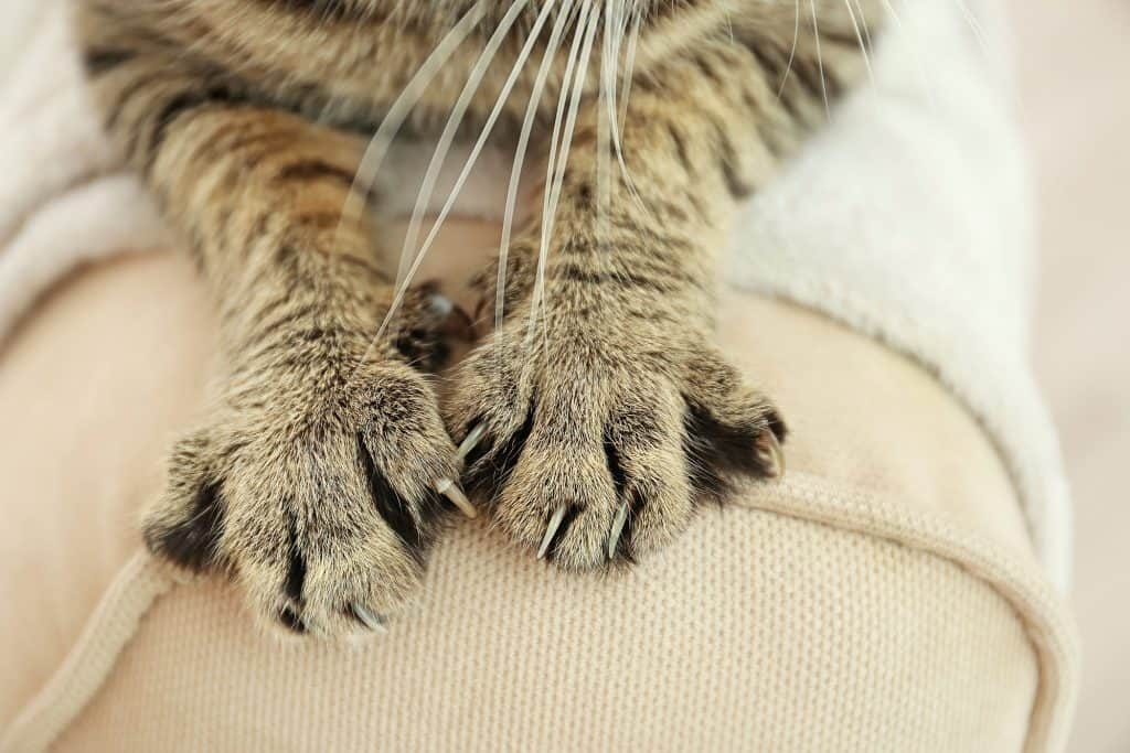 The two front paws of a great cat with black strips. The cat is resting their paws on what seems to be the arm of a cushion sofa or chair