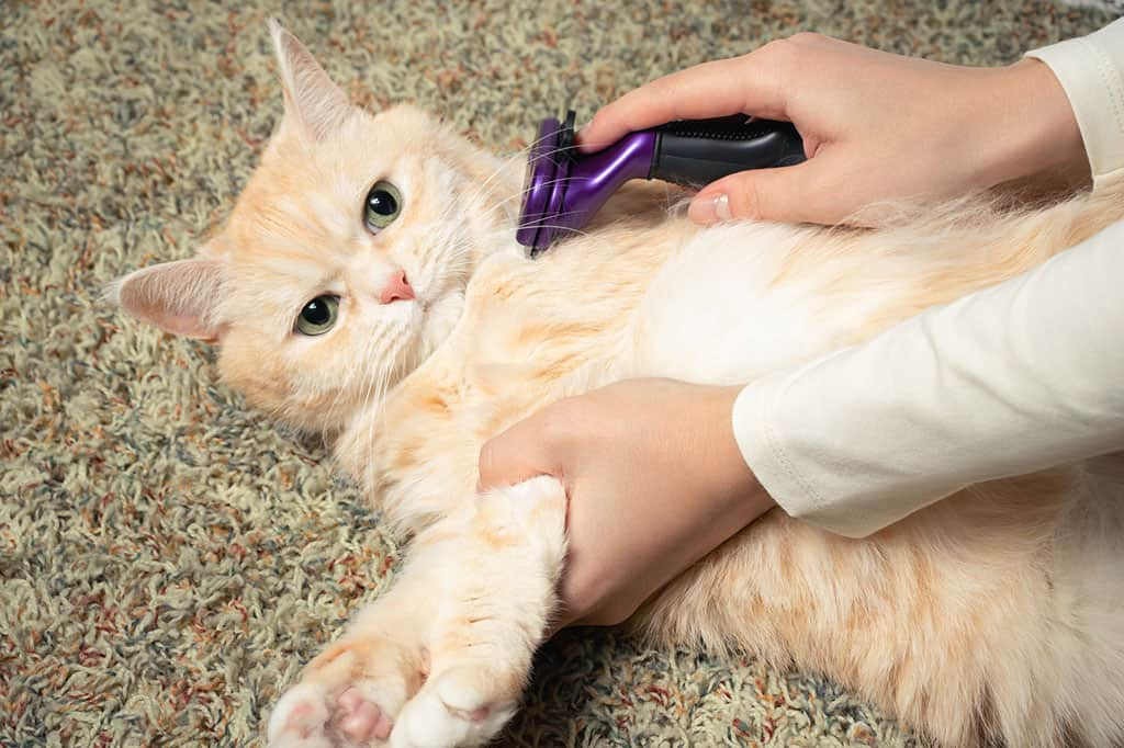 A tan and white cat on its back lying on the floor, with someone holding its legs with one hand and brushing it with the other hand.