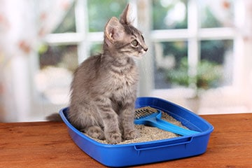 Small grey kitten sitting down in litter box filled with litter and scoop.