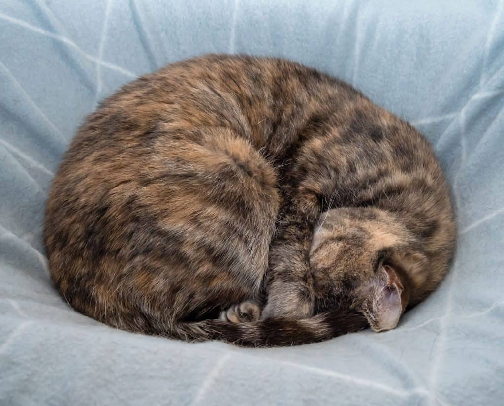 A multicolored (light brown, grey, black stripes) cat sleeping on a blue blanket. The cat is curled up into a ball with its face underneath one of its front legs.