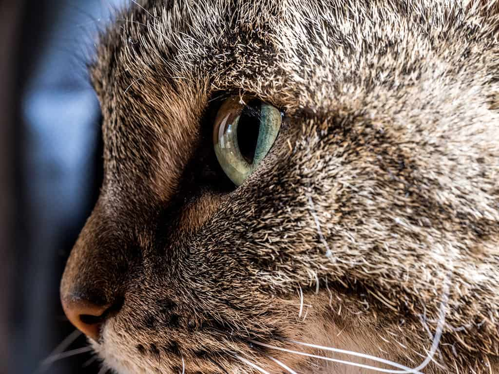 Close-up side profile image of a grey cat with black stripes. Its green and black eye stands out.
