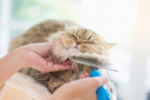 A light brown cat with white patches and black strips being groomed by a brush under its chin. The person grooming the cat with a blue grooming brush is also holding the cat's face.
