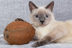 A tan-ish cat with black patches lying down next to a shucked coconut. The cat's right paw is on top of the coconut.