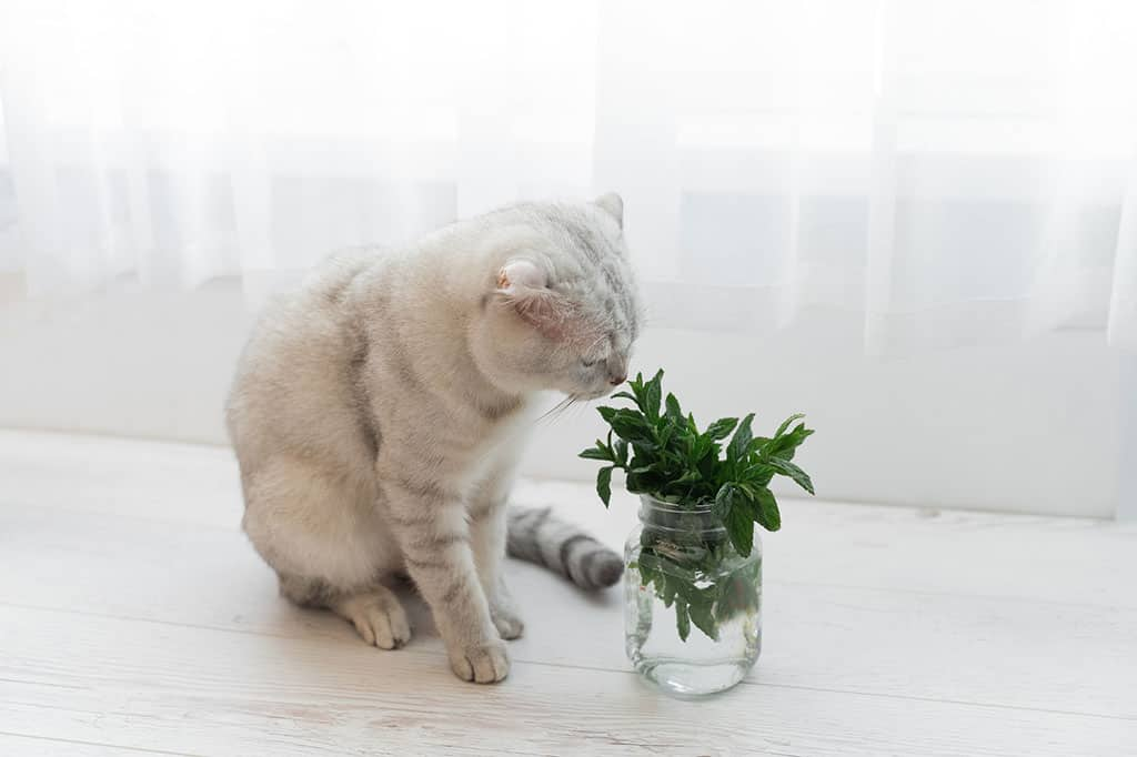 A white, light greyish cat with black strips is on a white wooden surface and is sniffing at mint in a glass bottle. There are white curtains in the background.
