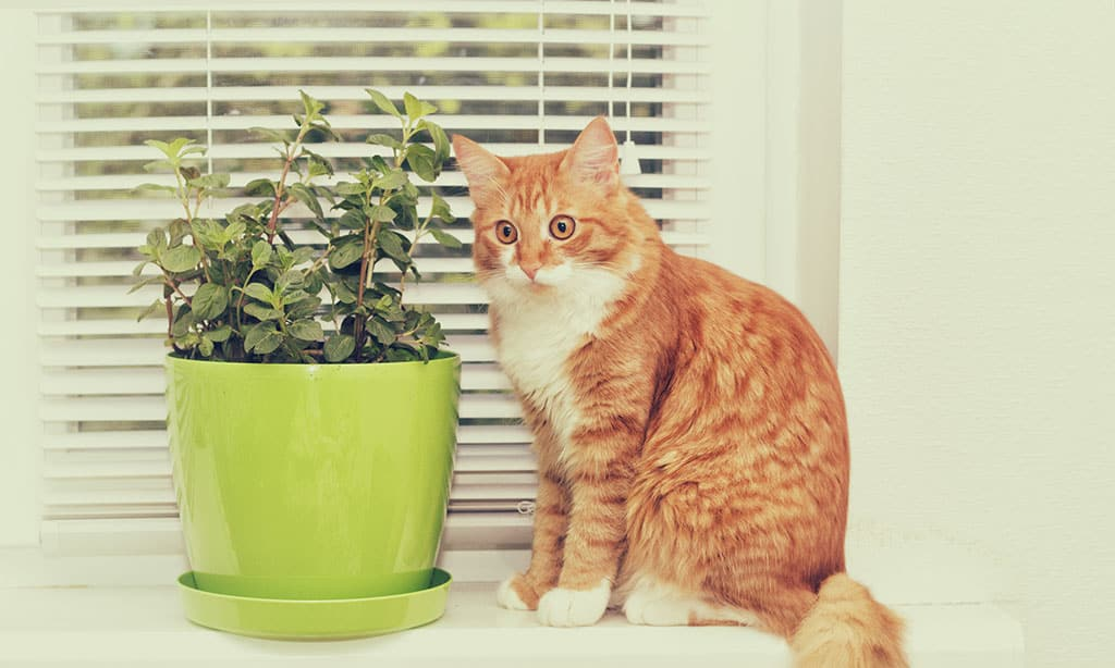 A yellow/orange cat with white patches is looking off to the side with a funny face. Next to the cat is a green pot with mint plants growing in it. There is a window with white blinds in the background.