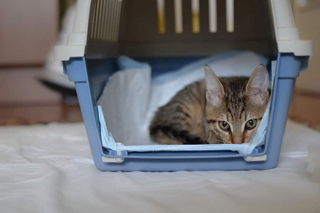 A grey, tan cat with black stripes looking sheepish inside of a blue and white cat carrier.
