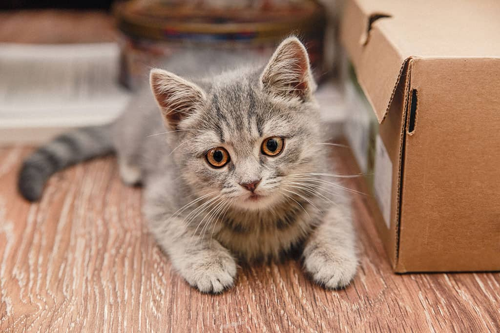 A grey kitten with black stripes lying on a wooded floor, next to a cardboard box looking at something in front of it.