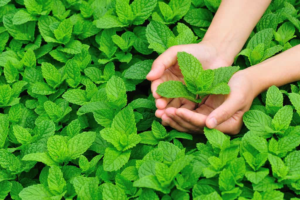 A patch of mint plant leaves. Someone is cupping both of their hands above plant on the right side, which is hold a few mint leaves.
