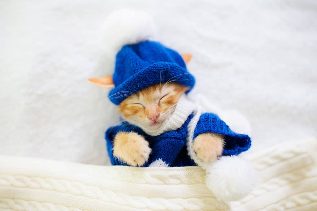 A cute, yellow and white kitten under a white blanket, dressed in a blue sweater and blue beanie cap.