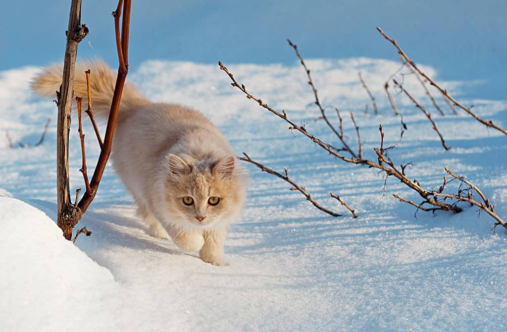 A white and brown cat outside walking in the snow covered ground.