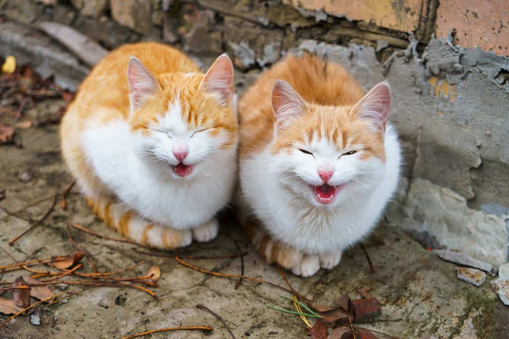 """Two identical, yellowish and white cats sitting outside on the ground, next to each other. They both having their mouths open as if they are """"meowing."""""""