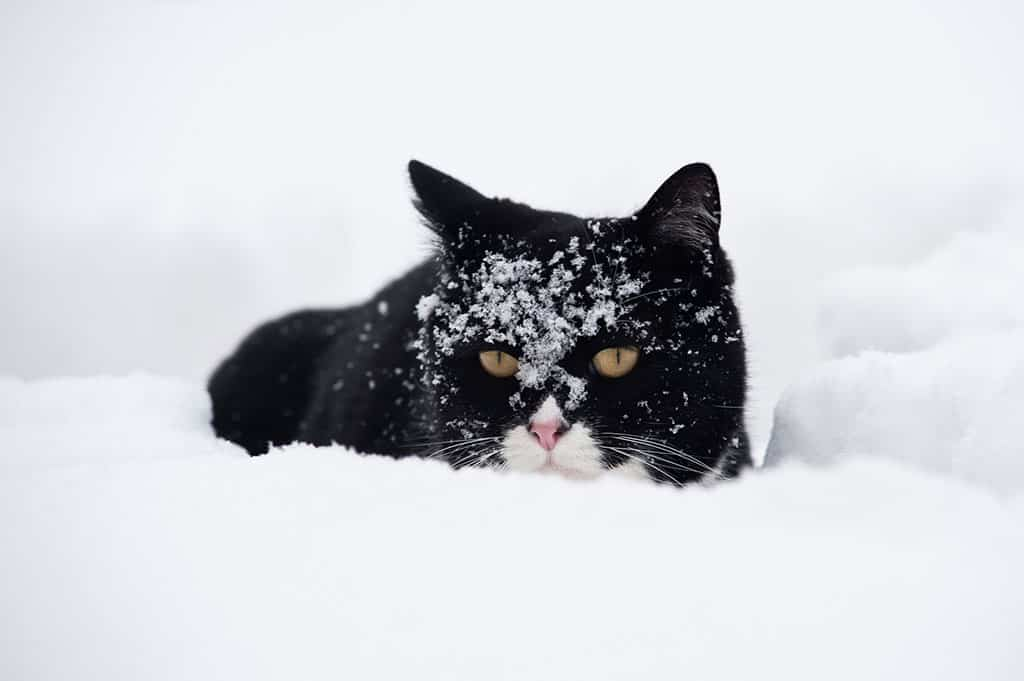 A black cat with a white nose outside in the snow, with some snow on his face.
