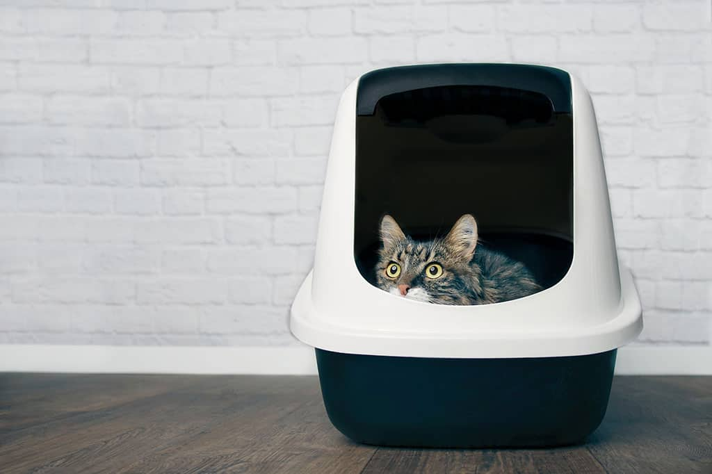 A grey and white cat with black stripes in peaking out of a an enclosed litter box.