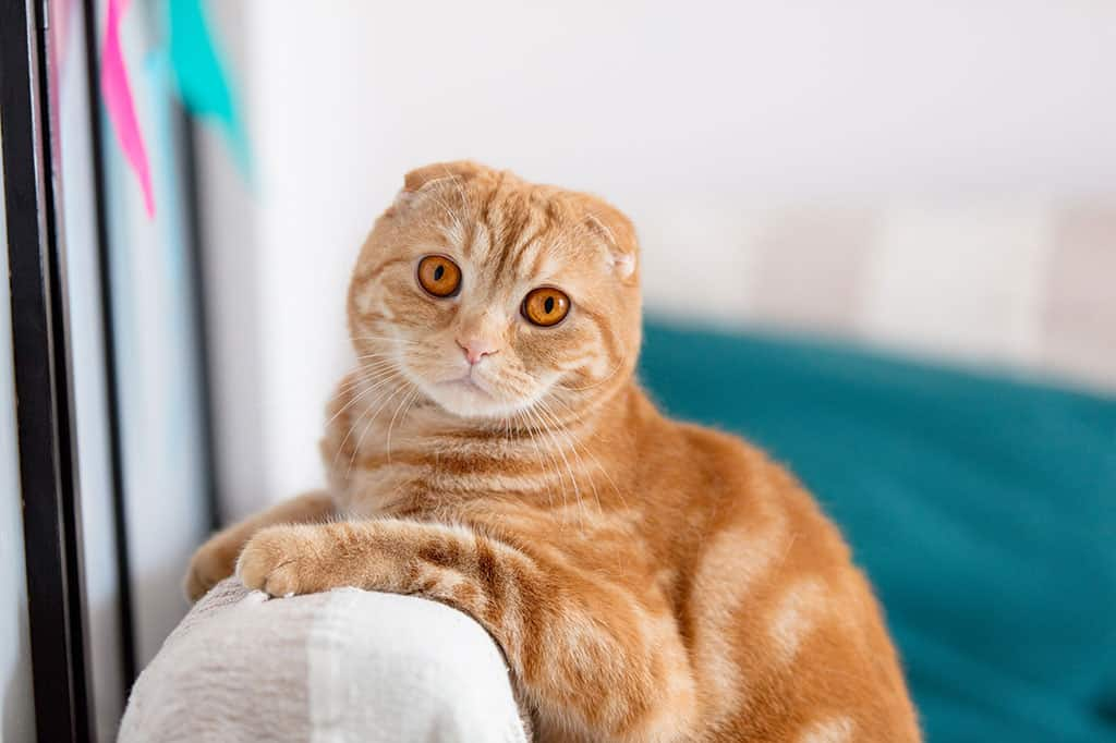 A brownish and white cat leaning against the top of a cushioned chair, looking at the camera with both of its ears down.