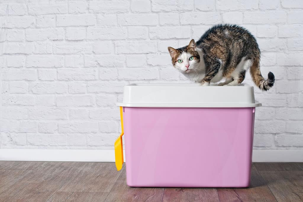 A brown, white, and black cat standing on the top of a pink and white enclosed litter box, looking towards the camera.