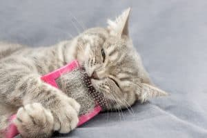 A grey and white cat with some black stripes lying down holding and biting a pink brush.