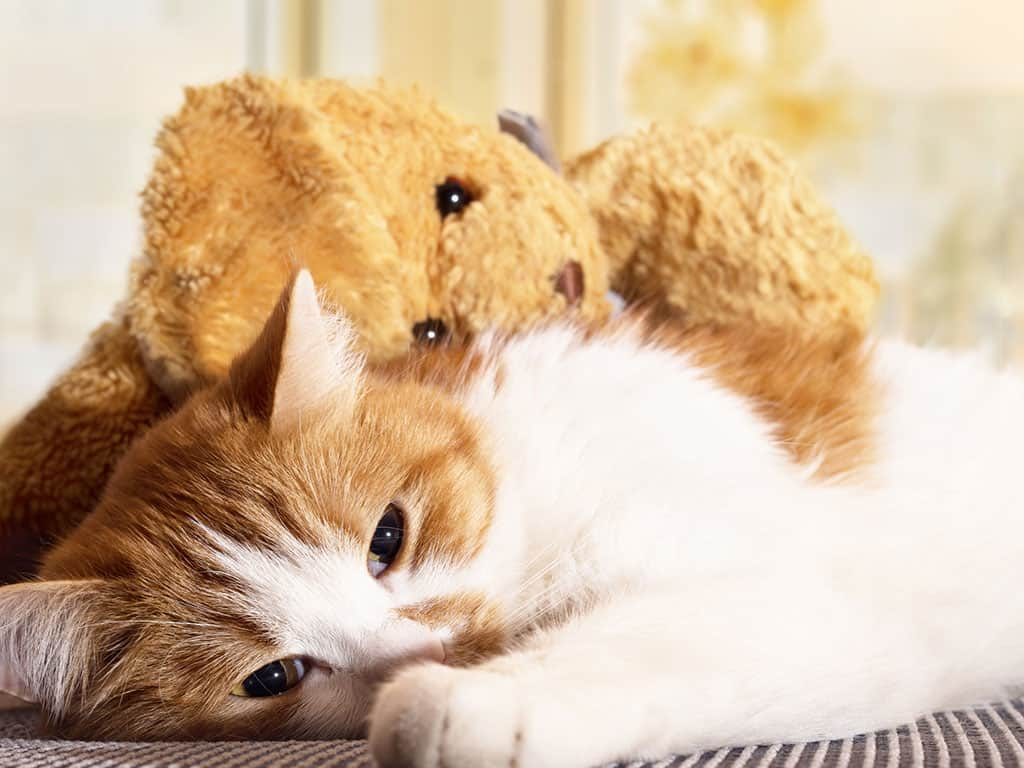 A white and tan cat lying down looking tired, with a brown teddy bear on top of it.