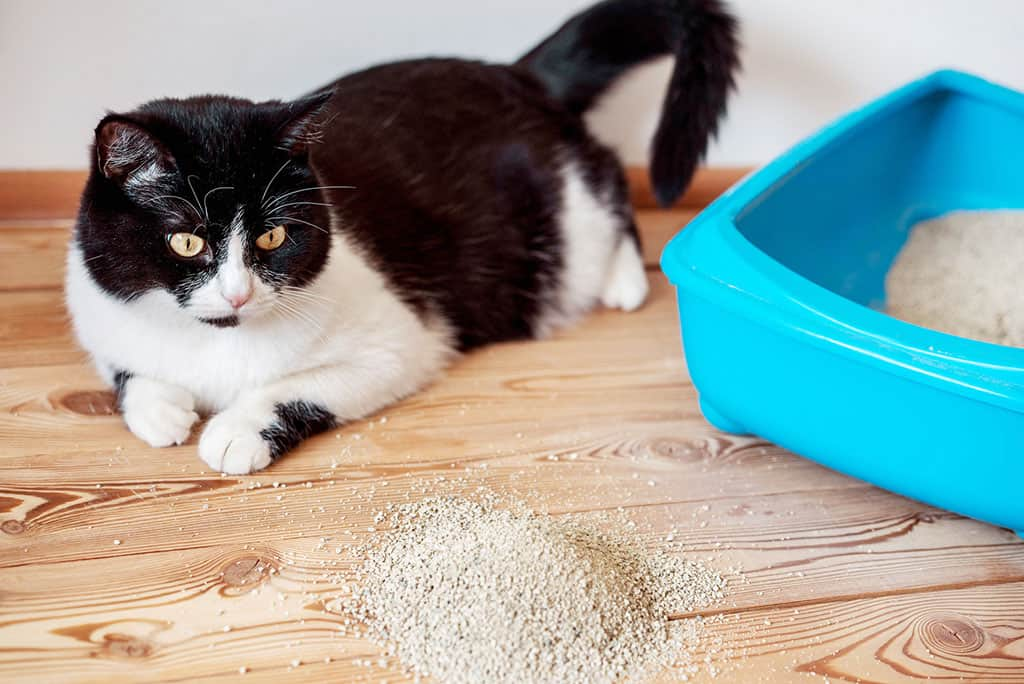 A black and white cat lying down next to a blue litter box, starting at a pile of litter on the floor.