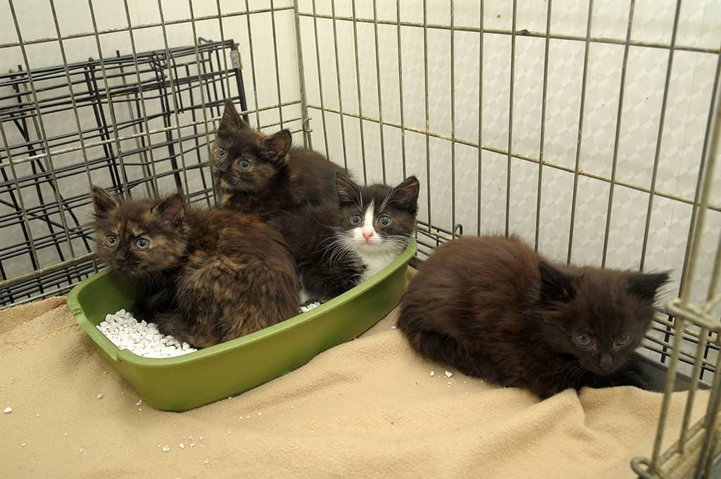 4 kittens in a cage, 3 of which are sitting in a small litter box.