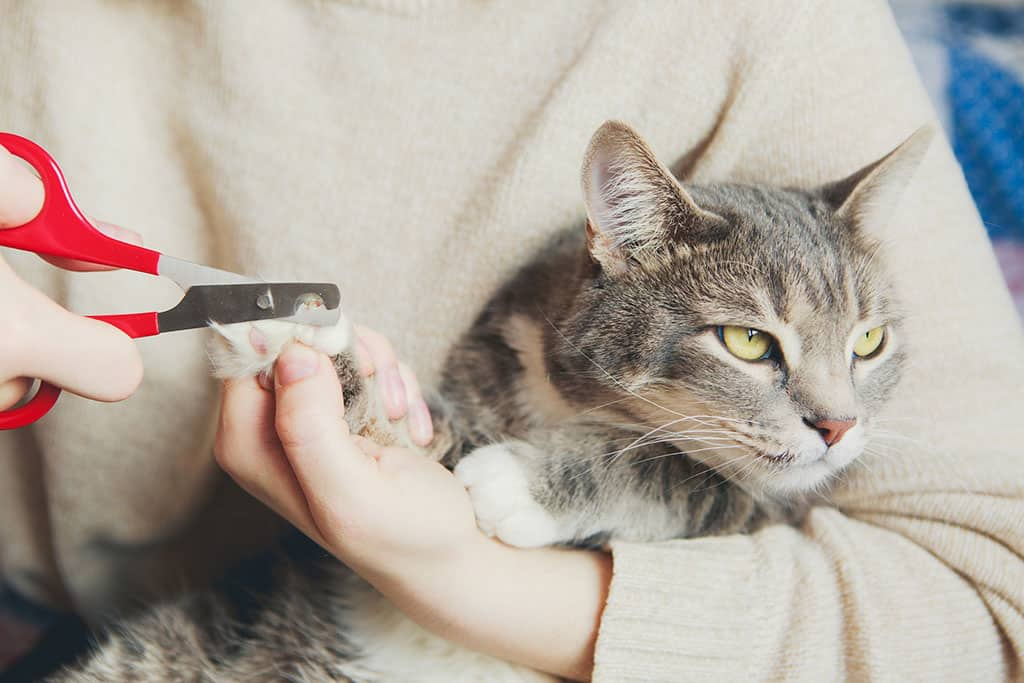 A woman holding a grey and white cat in her arms while she is cutting one of the cat's nails with a clipper.