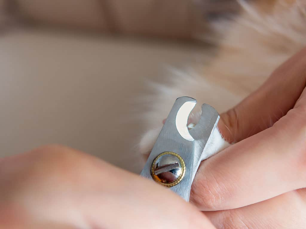 A close-up of cat's paw with one of its nails being cut with a cutter by someone.