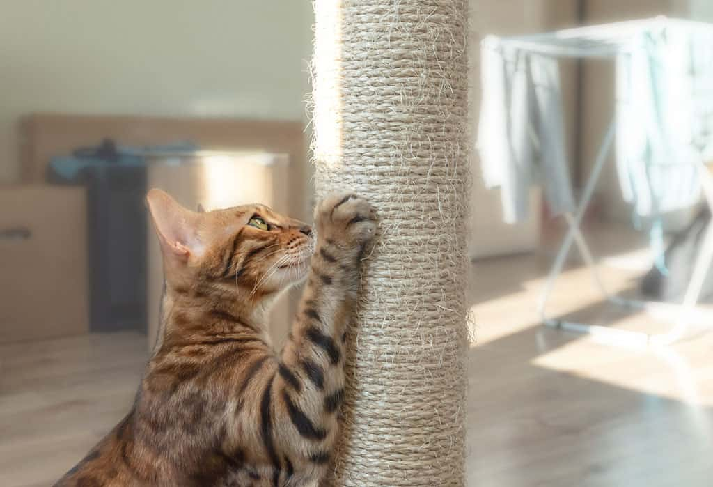 A light brownish cat with black stripes with one of its paws clawing a scratching post.
