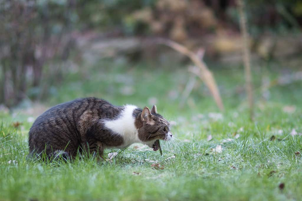 A white and grey cat with black stripes lying in the grass, apparently heaving as if wanting to throw up.