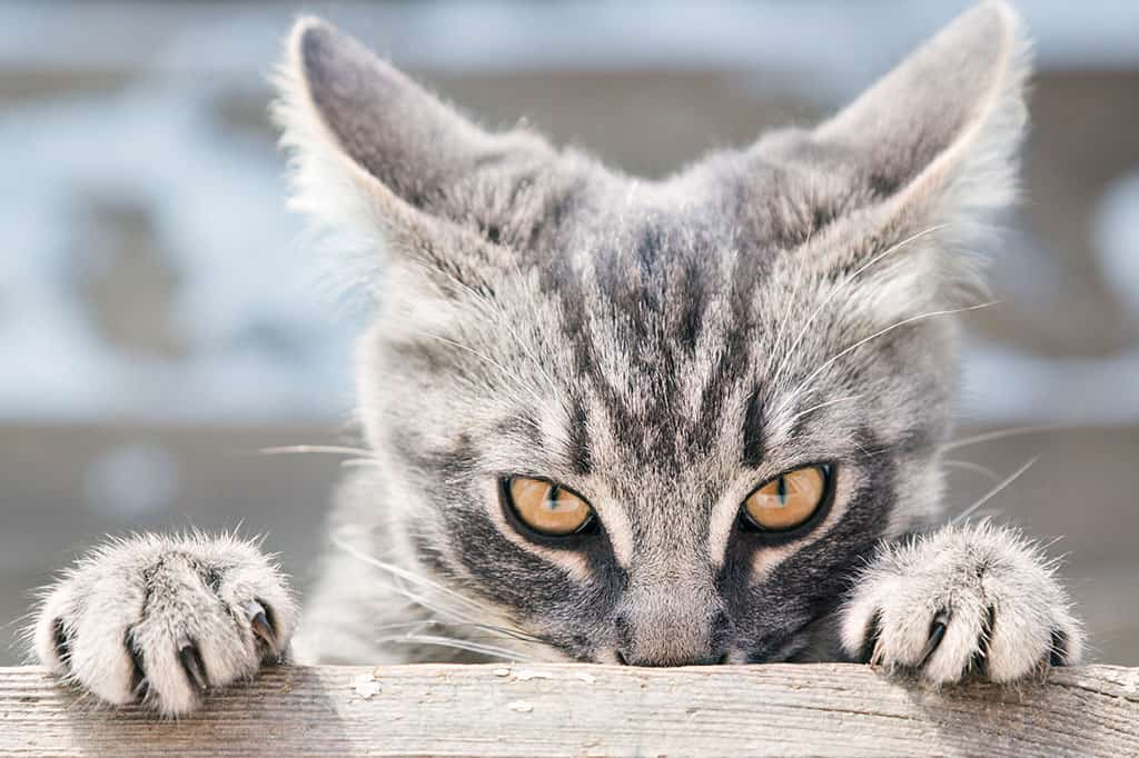 A close-up of the face and paws of a grey and white cat with black stripes. The cat has its front paws on a ledge and looks to be hanging from that ledge while peering over it.