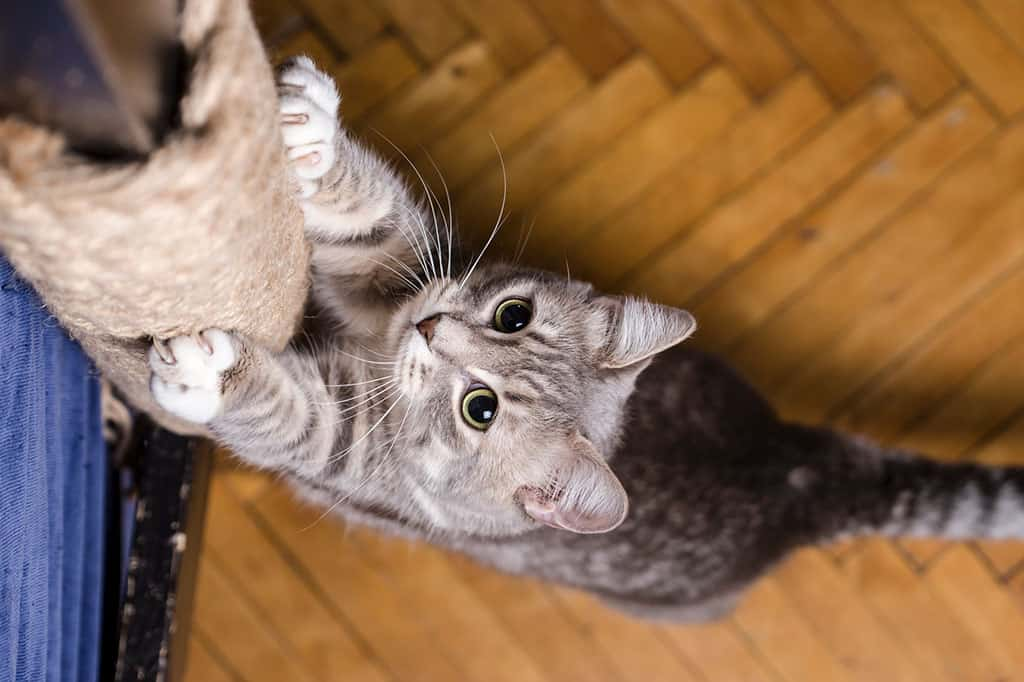 A grey and white cat with black stripes standing up clawing at a ropes tied around a wooden post.