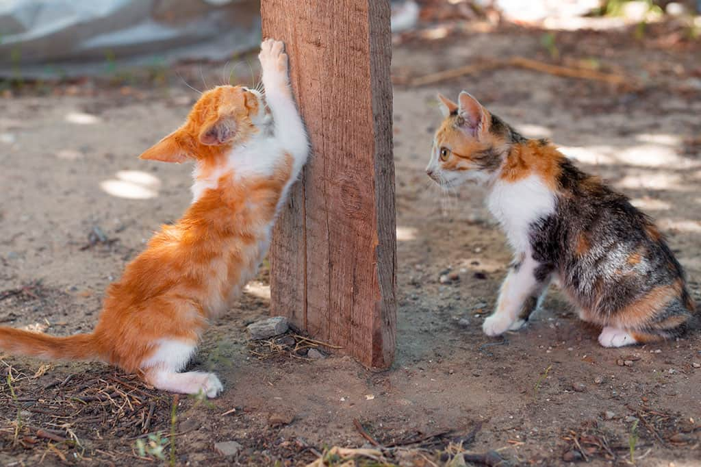 Two kittens, one cat is black, white, and orange sitting down on the right. The other kitten is white and orange, and is standing and clawing at a wooden board sticking in the ground.