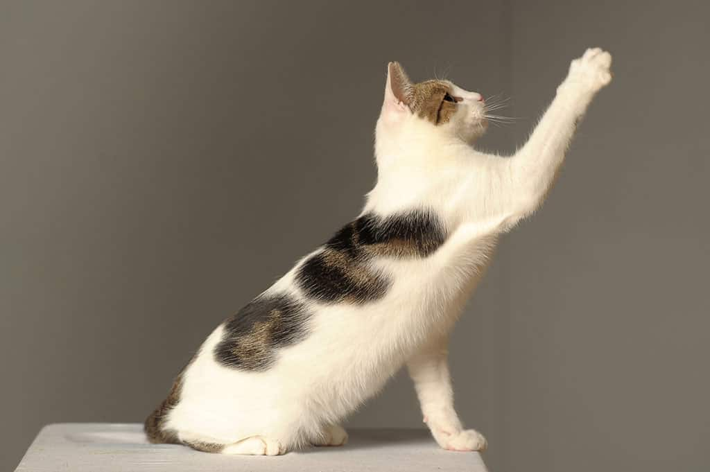 A white cat with black and grey patches looking up at something and extending its right paw towards it.