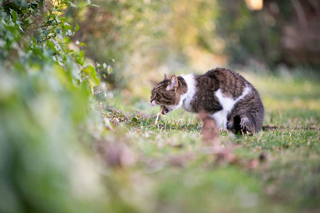 A white and grey cat with black stripes vomiting outside on the grass covered ground.