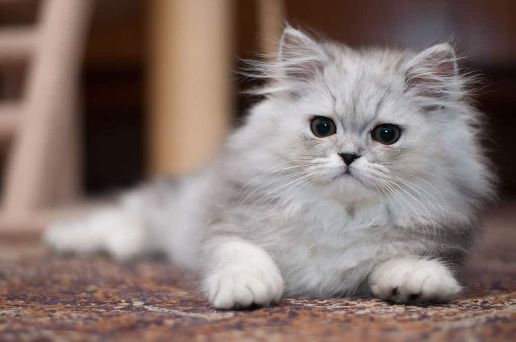 A cute white and grey Persian cat lying down on a carpet.