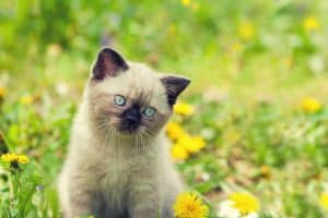 A small, light brownish and black Siamese kitten with blue eyes standing in a field of flowers and tilting its head to the side.