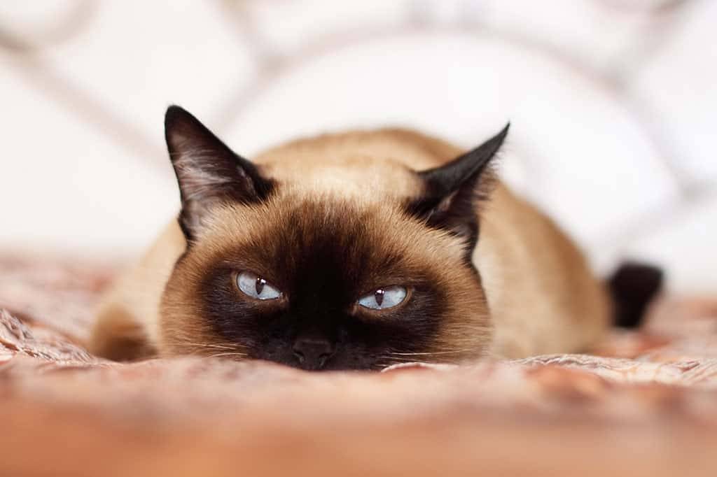 A light brownish and black Siamese cat with blue eyes lying down and staring at something with menacing eyes.