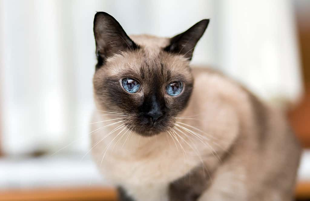 A light brownish and black Siamese cat with blue eyes looking at something off in the distance.
