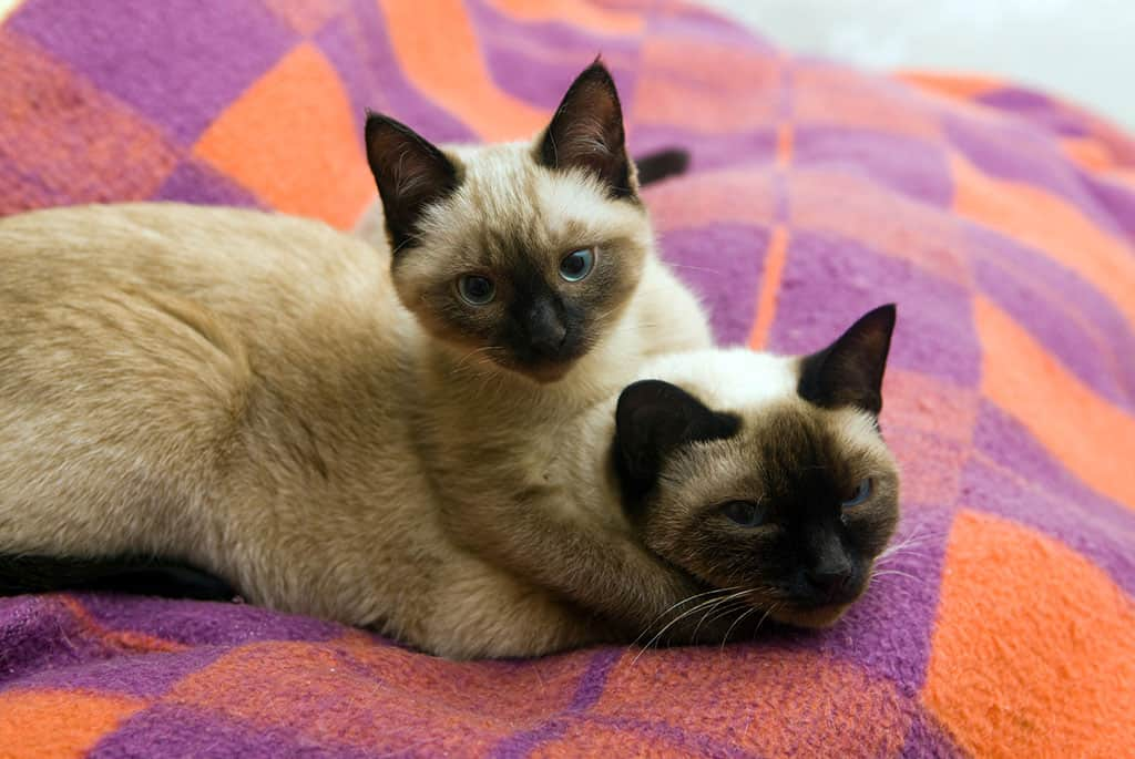 Two light brownish and black Siamese kittens with blue eyes on a orange and purple blanket playing with one another. The top kitten is holding the other kitten by its neck.